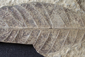 Lithocarpus palaeorhodopensis Palamarev & Mai [holotype IBERPBXX0036] (c) Institute of Biodiversity and Ecosystem Research, BAS — Paleobotanical Collection (IBER-PB)