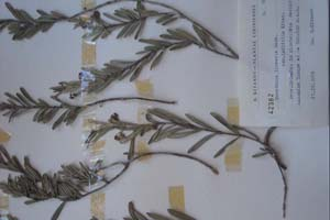 Marsdenia linearis Dcne. var. latifolia Kitan. [type SOXXXXXX0111] (c) Sofia University 'St. Kliment Ohridski' — Biological Faculty — Herbarium (SO)