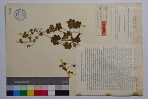 Alchemilla bulgarica Rothm. [ SOMXXXXX0004] (c) Institute of Biodiversity and Ecosystem Research, BAS — Vascular Plants and Mosses Collections (SOM)