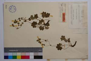 Alchemilla bulgarica Rothm. [ SOMXXXXX0004] (2) (c) Institute of Biodiversity and Ecosystem Research, BAS — Vascular Plants and Mosses Collections (SOM)