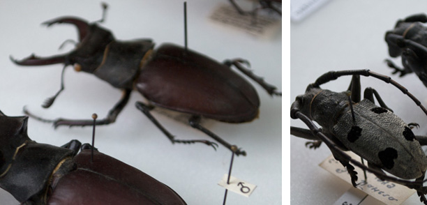 Collection Coleoptera