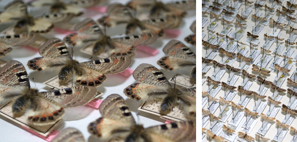 Collection Lepidoptera (2)