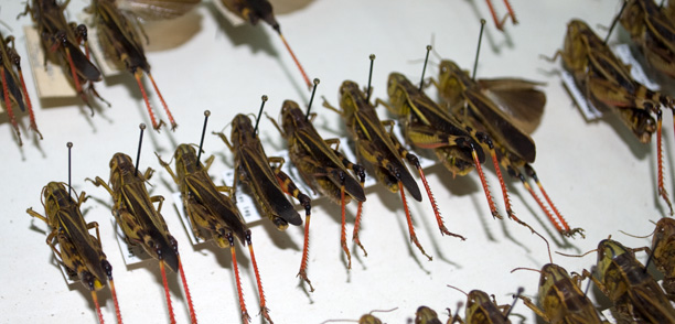 Collection Orthoptera