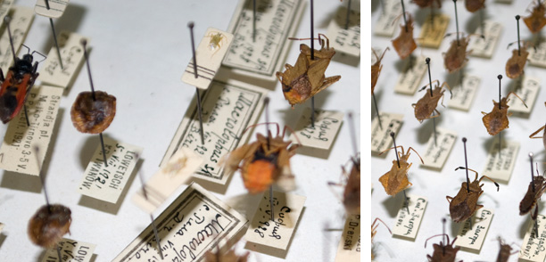 Collection True Bugs (Hemiptera)